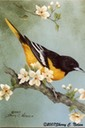 "Baltimore Oriole with Blossoms. 8""x10""  $6.00"